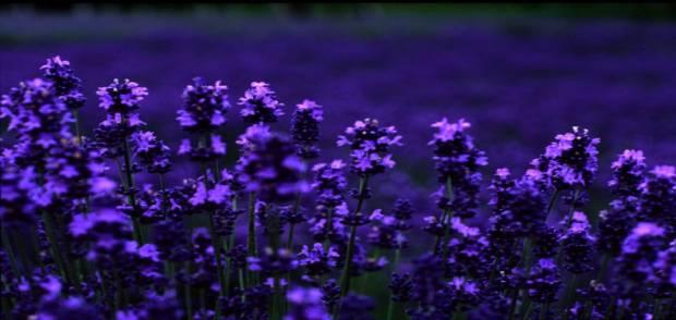 lavender-hoaoaihuong