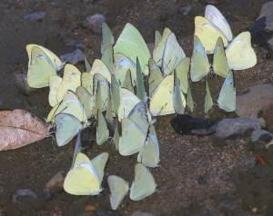 puddlingvietnamesebutterflies