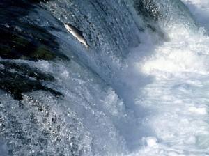 Swimming_Upstream
